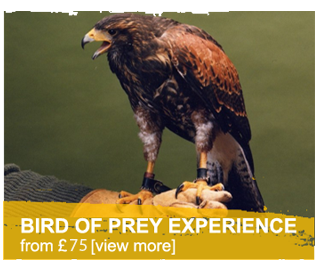 bird of prey experiance Welsh Hawking Centre